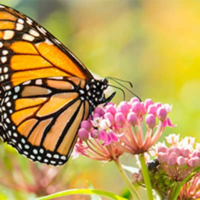 Monarch Butterfly Populations Are Declining Due To Loss Of Habitat.