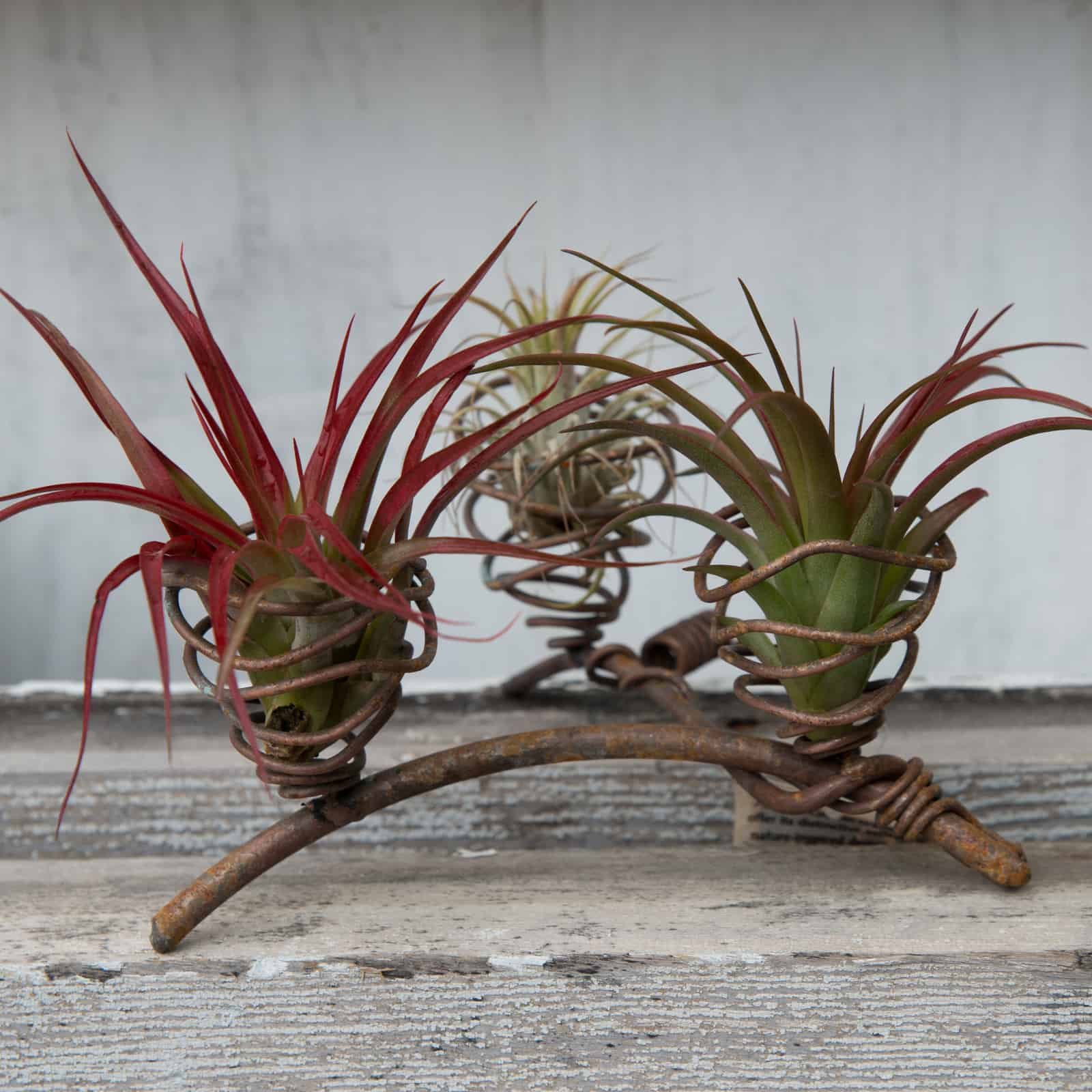 Air Plants The Possibilities Are Endless Calgo Gardens